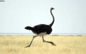 1000_ostrich,-running-245005.jpg